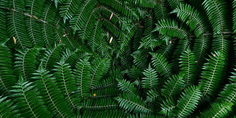 New Zealand ferns.