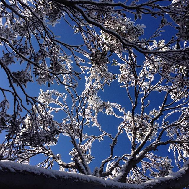 Icy trees on a bluebird day