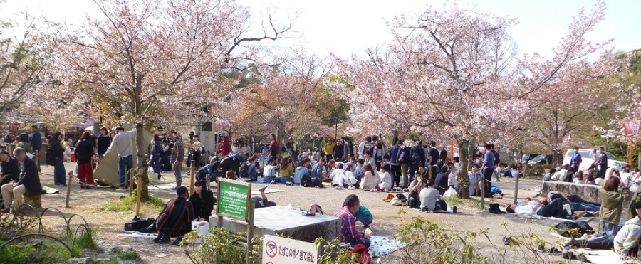 Hanami parties in the grounds of Yasaka-jinja shrine