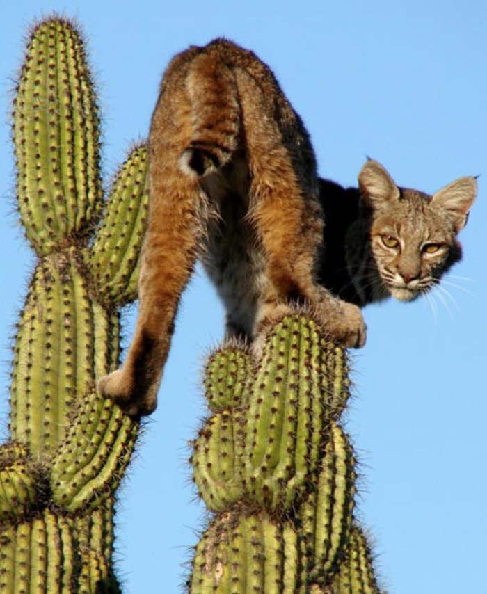 Image result for pics bobcat cactus