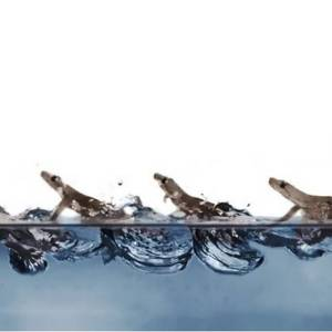 Watch Geckos run on Water