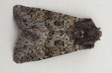 Polymixis lichenea