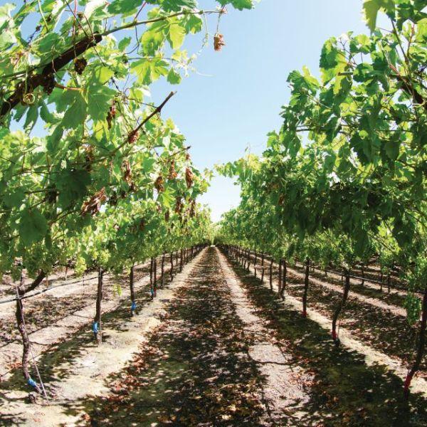 nitrogen-viticulture