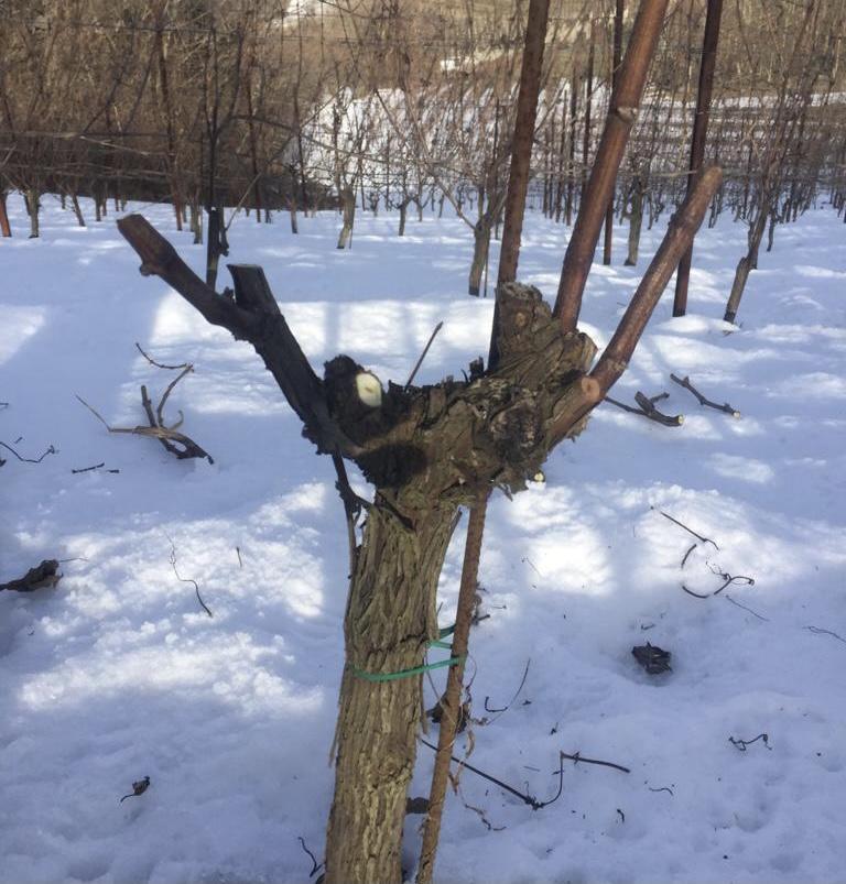 pruning_barolo
