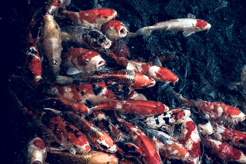 My Japan Trip Changed Me: A Photographic Japan Guide PART I - Koi Fish in Shenji Temple Stream