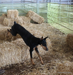 Doberman Barn Hunt