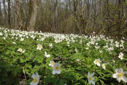 wood-anemone-266376_1280