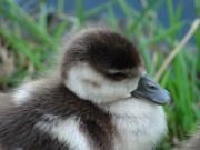 baby-duck-574920_1920