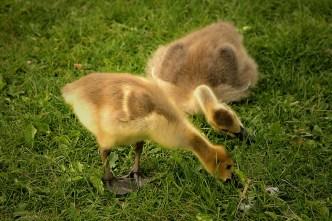canadian-geese-goslings-613923_1920 - kopia