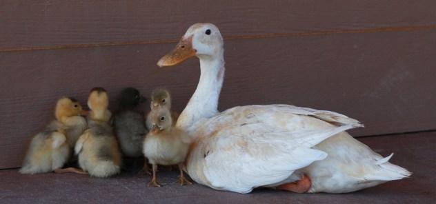 duck-709719_1920 - kopia