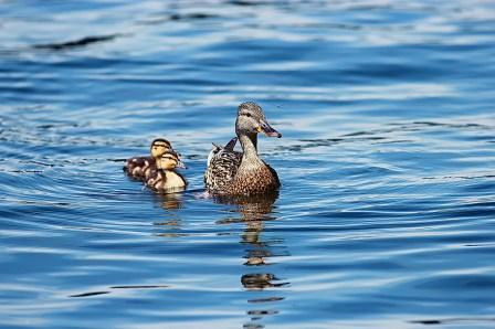ducklings-453372_1920 - kopia