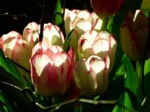 tulip-298131_1280