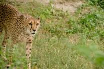 cheetah-828093_1920