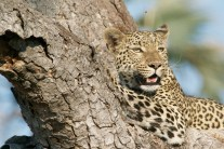 leopard-731279_1920