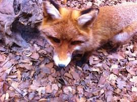 red-fox-202147_1920
