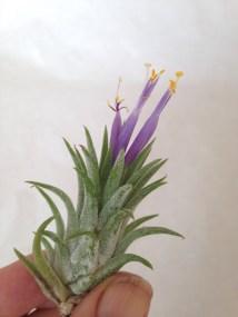 Tilly flower 2