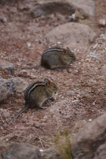 Two four-striped grass mice
