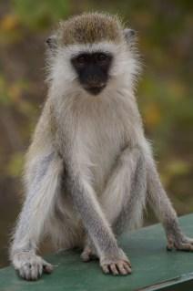 Black Faced Vervet Monkey.