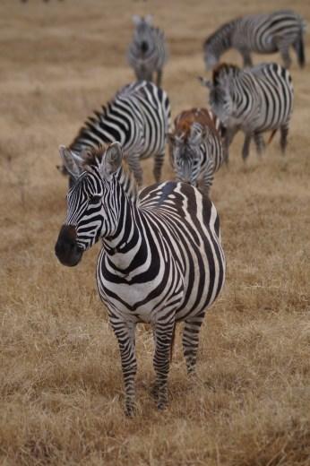 Zebras in Ngorongoro.