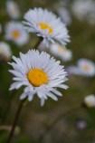 Alpine daisy (Celmisia asteliifolia? Brachyscome nivalis? Other?)