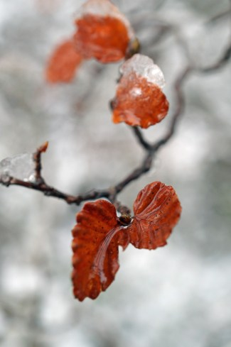 Nothofagus gunnii, winter