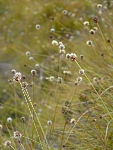 Buttongrass, Gymnoschoenus sphaerocephalus, summer