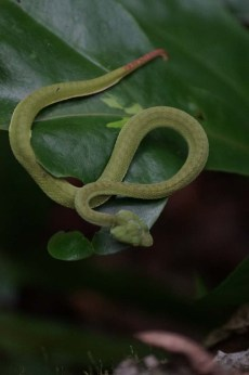 Snake, Cat Ba National Park