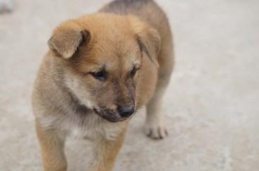 Dingo puppy, Cat Ba