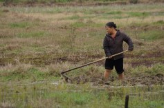 Working the field, Cat Ba