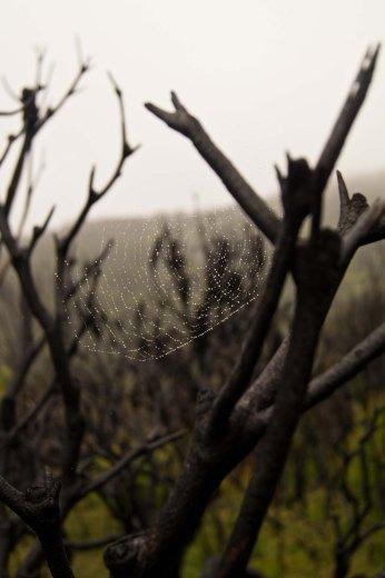 Web on burnt tree