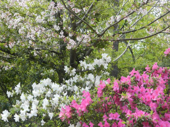 Blooming Azaleas when spring comes in north Carolina