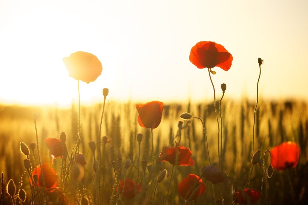 poppies, field, sunset, bloom, seasons