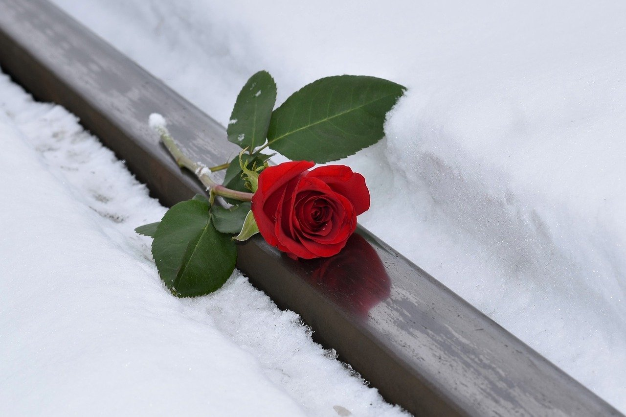 red rose, lost love, snow