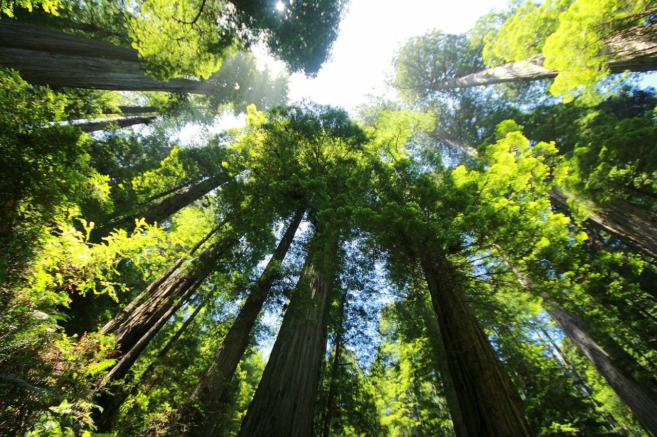sequoia, forest, redwood