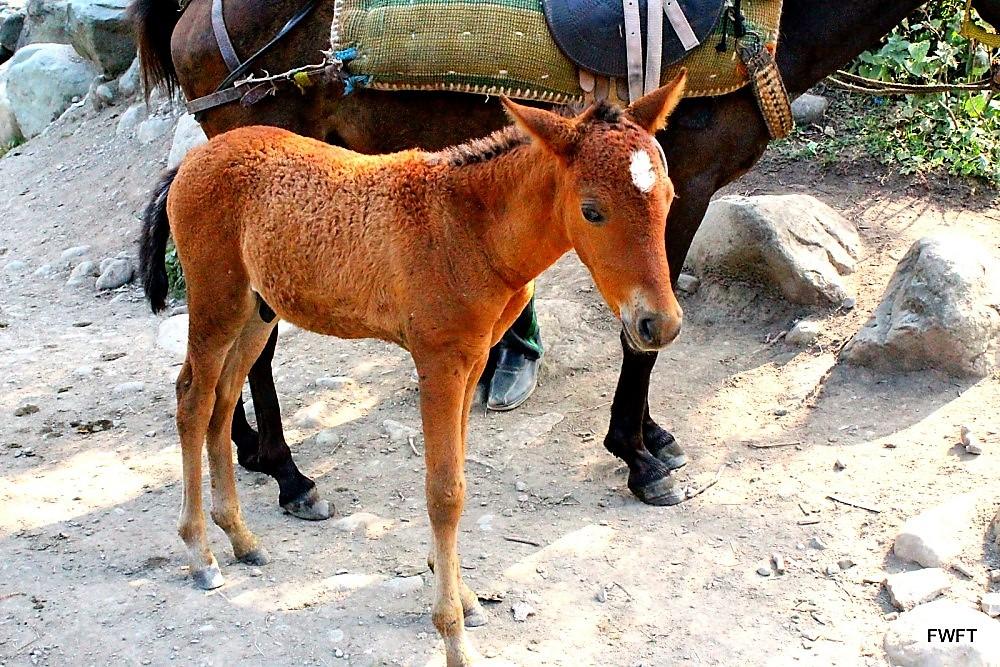 A pony at Doodhpathri-Kashmir