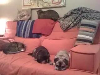Pugsandcats
