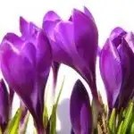 crocus_white_purple_246778_l