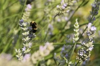 Bee on lavender2