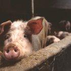 Pork Production