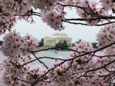 Jefferson Memorial blossoms