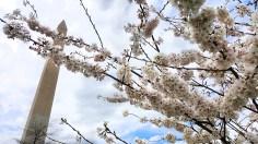 Washington Monument blossoms