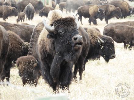 buffalo growl