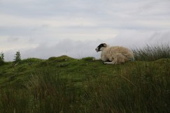 Sheep everywhere in the U.K.