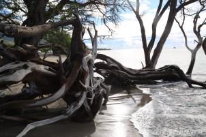 Fallen beach tree