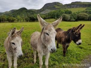 Irish Donkeys