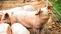 Pig 'Ebola' Virus Sends Shock Waves Through Global Food Chain