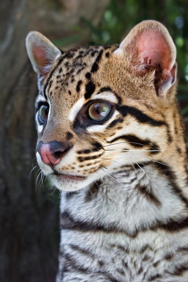 ocelot, feline, animals