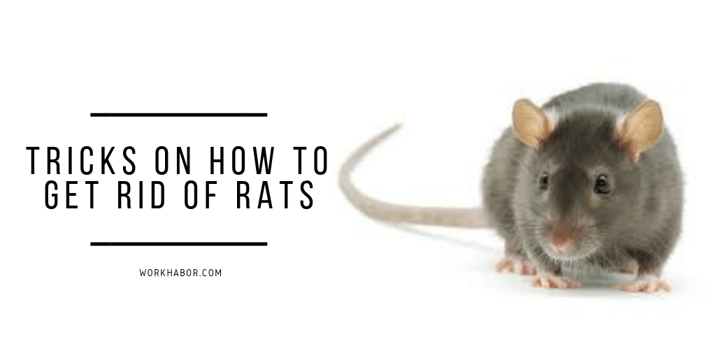 Tricks On How To Get Rid Of Rats In The Garden
