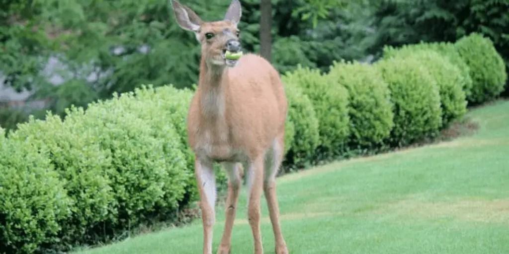 Do Deer Eat Apples?