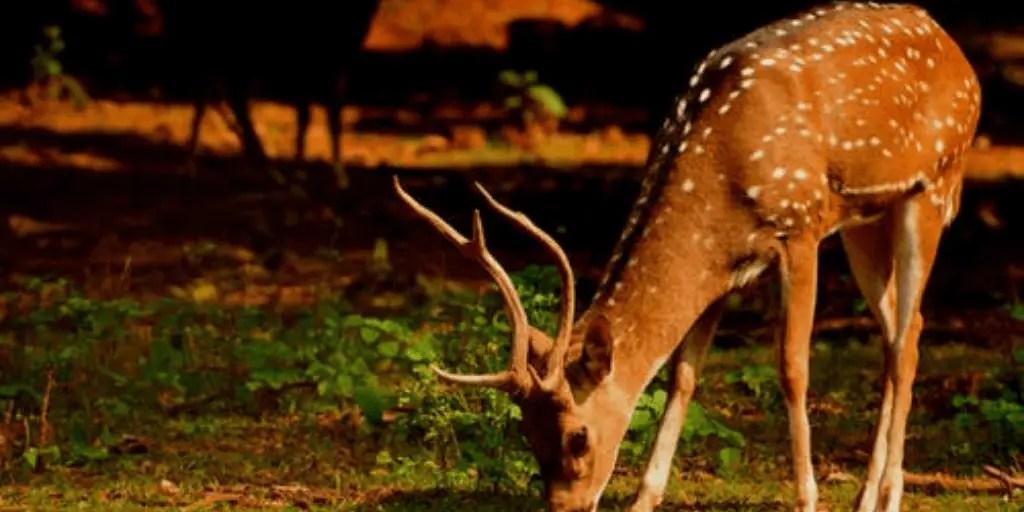 Do Deer Eat Pumpkins